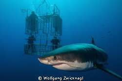 Guadalupe Island is definitly the best place on earth to ... by Wolfgang Zwicknagl 